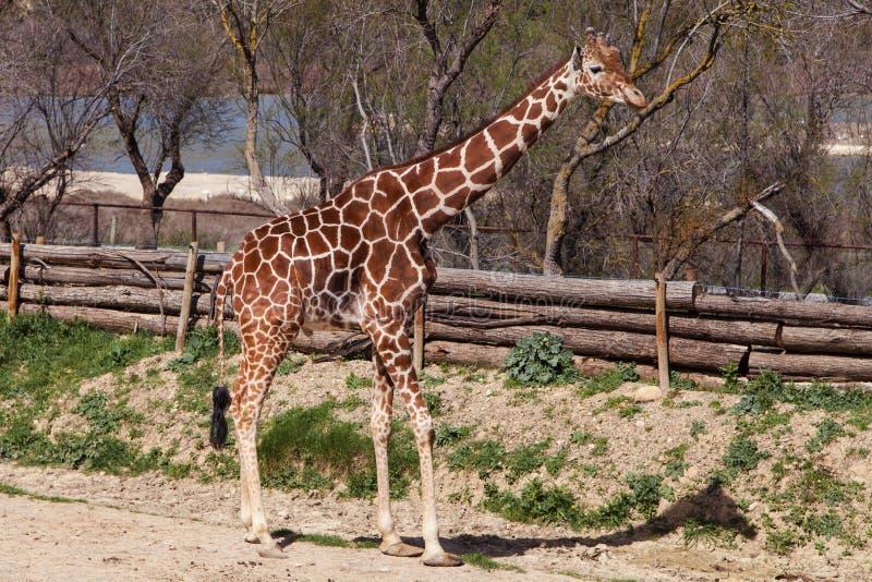 żyrafa somalijska zdjęcia royalty free