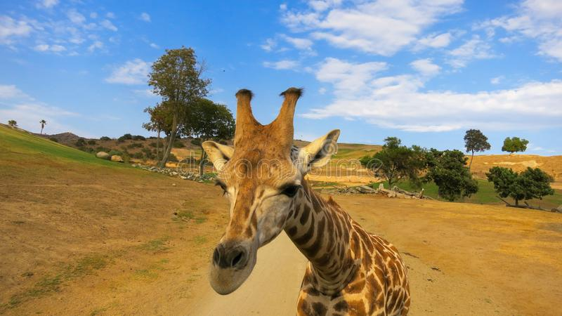 Żyrafa up zamknięta w safari parku obrazy stock