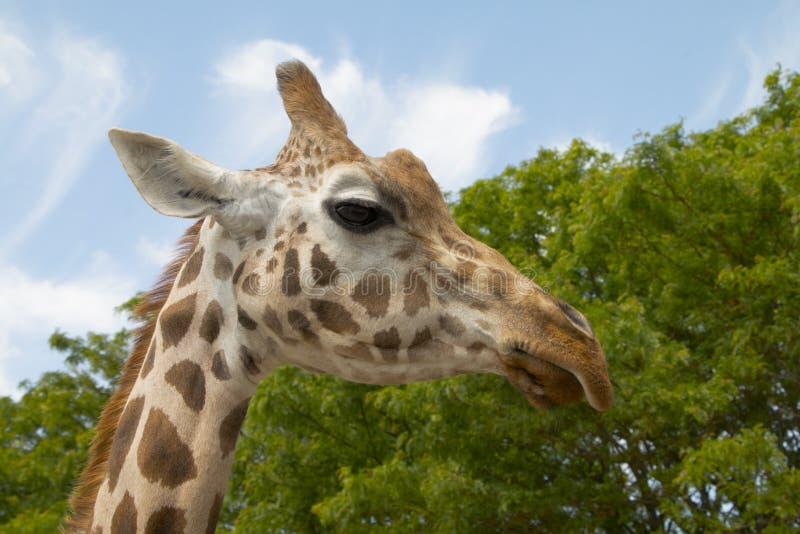 Żyrafa w górę - krajobrazu zdjęcia stock