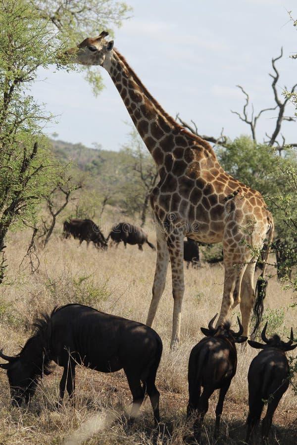 Żyrafa z błękitnymi wildebees zdjęcie royalty free