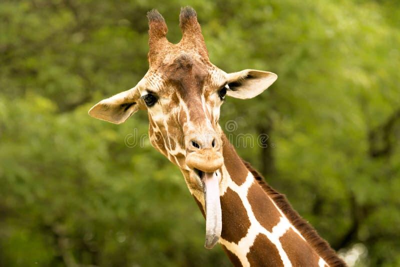 żyrafy zdjęcie royalty free