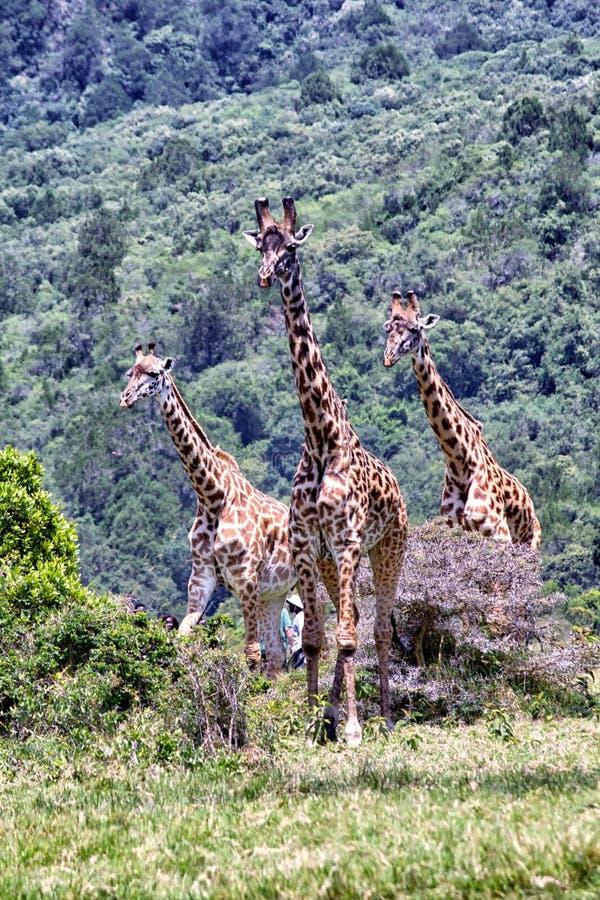 żyrafy afryce obraz royalty free