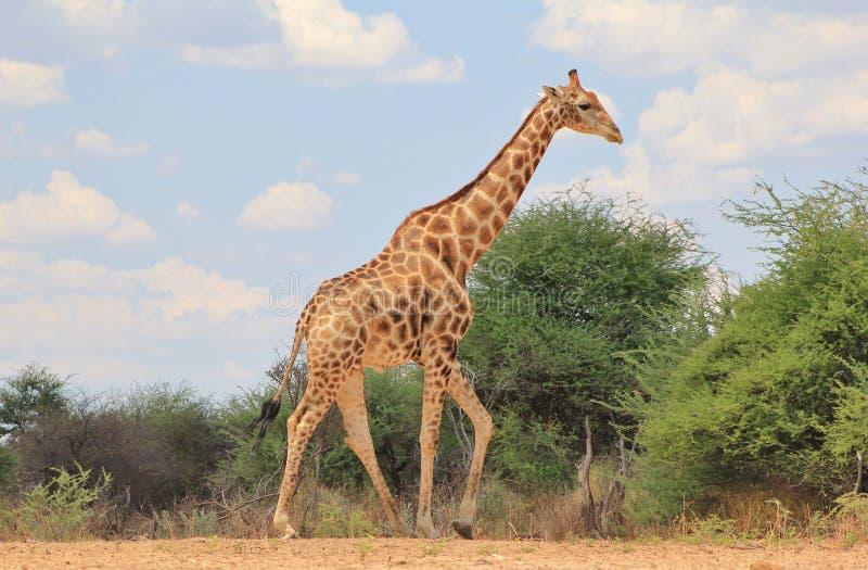 Żyrafy Byka Błękit obrazy stock