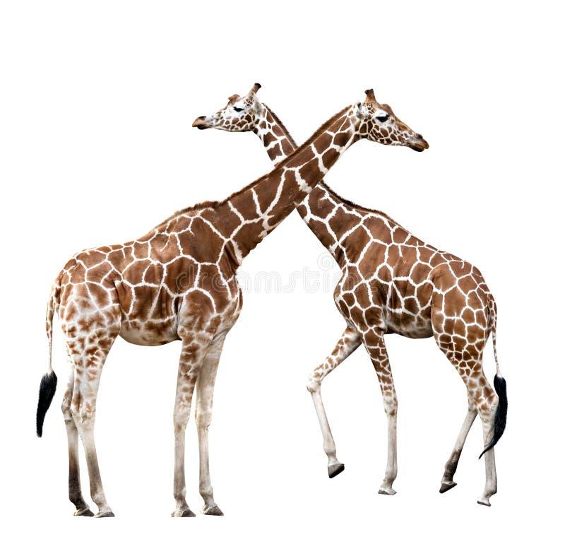 żyrafy dwa zdjęcie stock