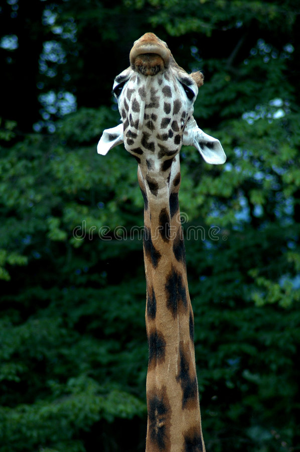 żyrafy głowy zdjęcia stock