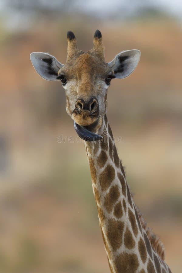 żyrafy gapienie obraz royalty free