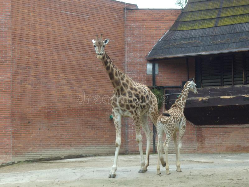 Żyrafy Giraffa z młodymi potomstwami obraz royalty free