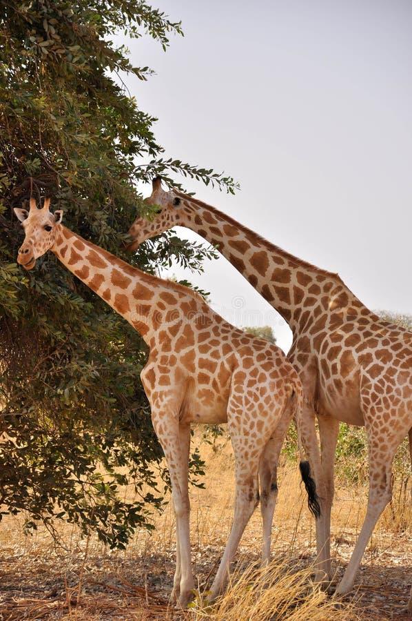 żyrafy Niger Sahel obrazy royalty free