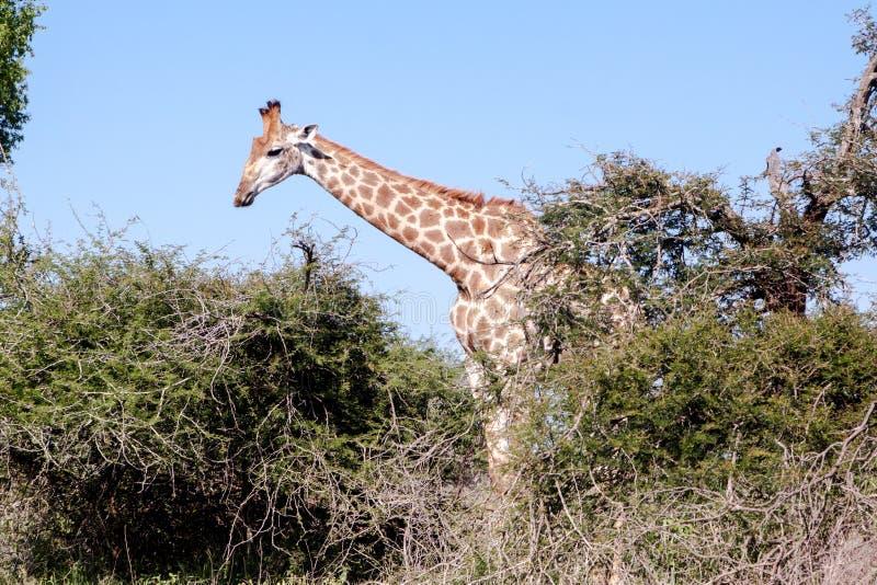 Żyrafy odprowadzenie za drzewami zdjęcie royalty free