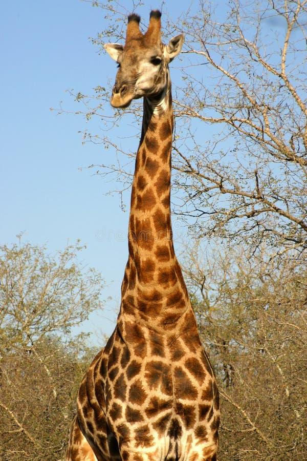 żyrafy południowej afryce zdjęcie royalty free