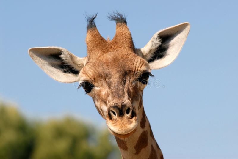 żyrafy portreta potomstwa obraz royalty free