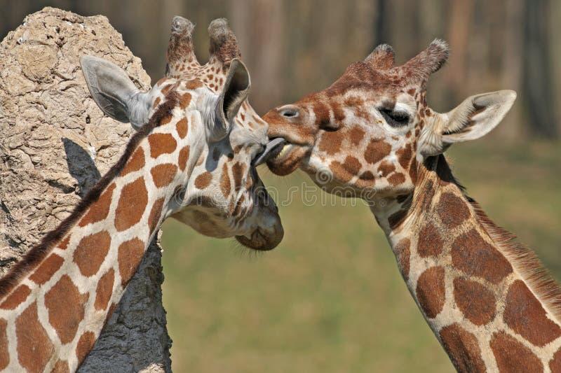 żyrafy siatkować obraz stock