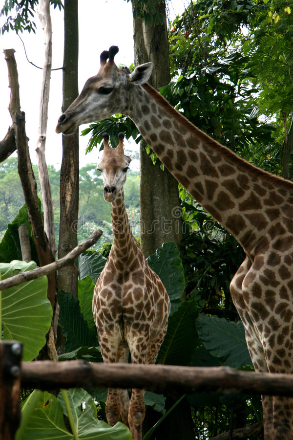 żyrafy Singapore zoo obraz stock