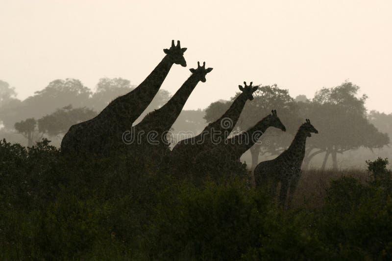 żyrafy sylwetka fotografia royalty free