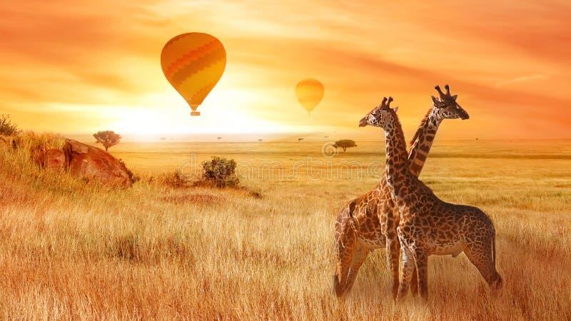 Żyrafy w Afrykańskiej sawannie przeciw tłu pomarańczowy zmierzch Lot balon w niebie nad sawanna zdjęcie royalty free