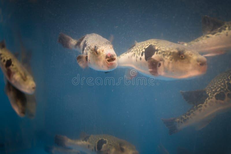 Żywa Fugu ryba w restauraunt akwarium w Osaka, Japonia Fugu może być lethally Fugu i jadowitego sashimi owoce morza przygotowanie zdjęcie stock
