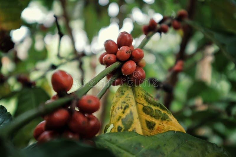 żywe czerwone robusta kawy wiśnie na gałąź przed żniwem fotografia royalty free