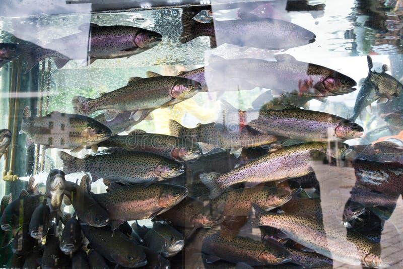 Żywi rybi tęcza pstrąg, Oncorhynchus mykiss, pływa w akwarium obraz royalty free