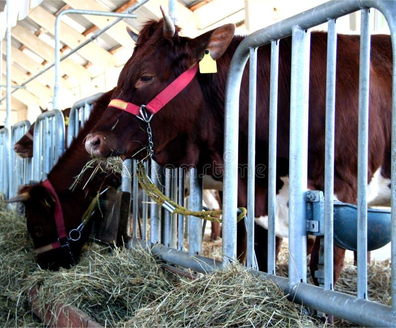 żywieniowa krowy stajenka obraz royalty free