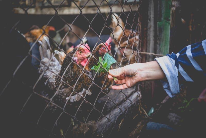 Żywieniowe wietnamczyk świnie, kurczaki na gospodarstwie rolnym i zdjęcia royalty free