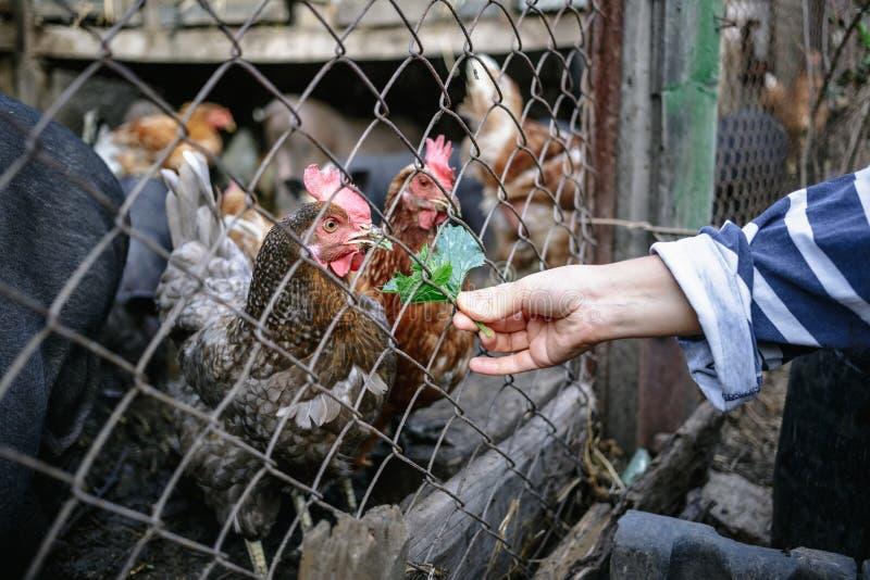 Żywieniowe wietnamczyk świnie, kurczaki na gospodarstwie rolnym i zdjęcie stock