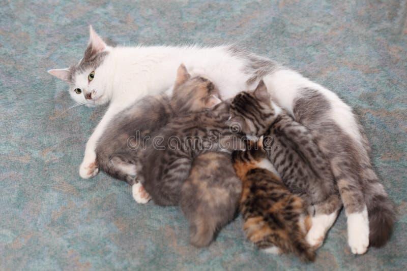 Żywieniowi koty obrazy stock