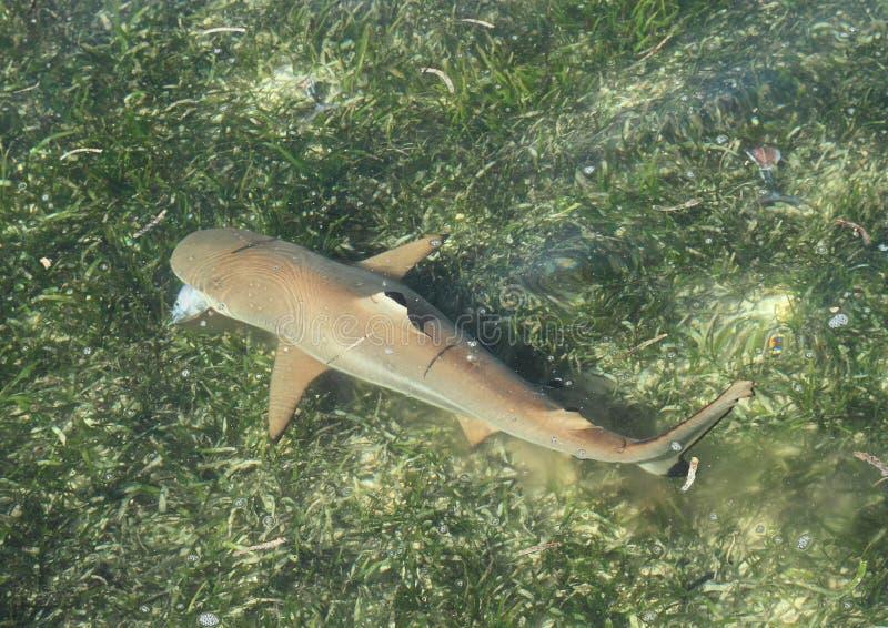 Żywieniowy blacktip rafy rekin zdjęcia royalty free