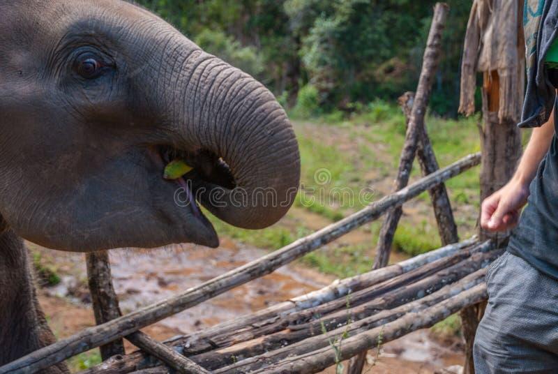 Żywieniowy dziecko słoń z bananami zdjęcia royalty free