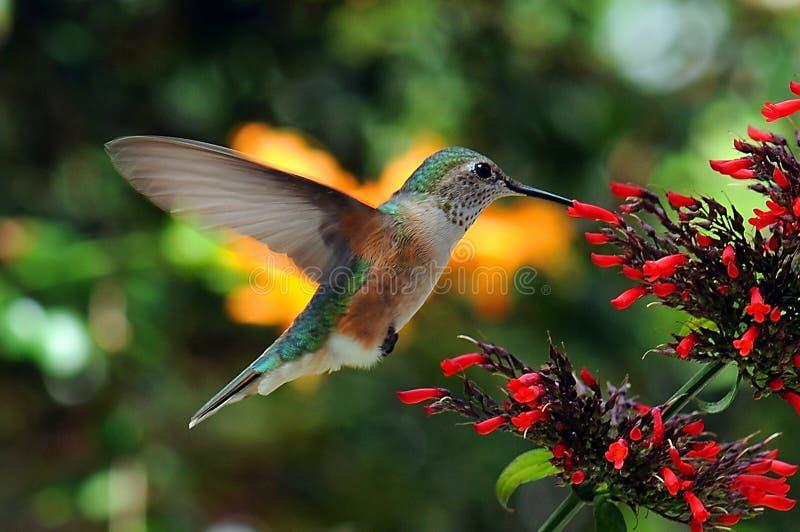 żywieniowy hummingbird obraz stock