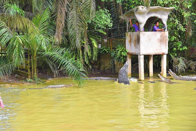 Żywieniowy przedstawienie krokodyle W krokodyla gospodarstwie rolnym W Kuching, Sarawak fotografia royalty free