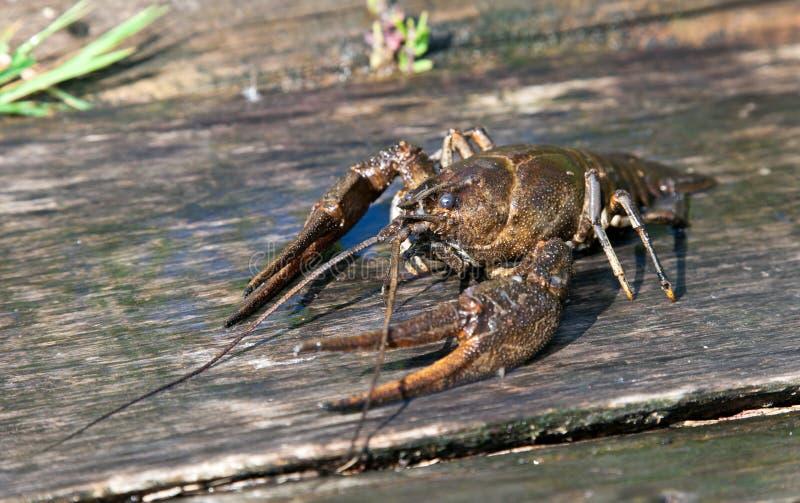 żywy crayfish zdjęcie royalty free