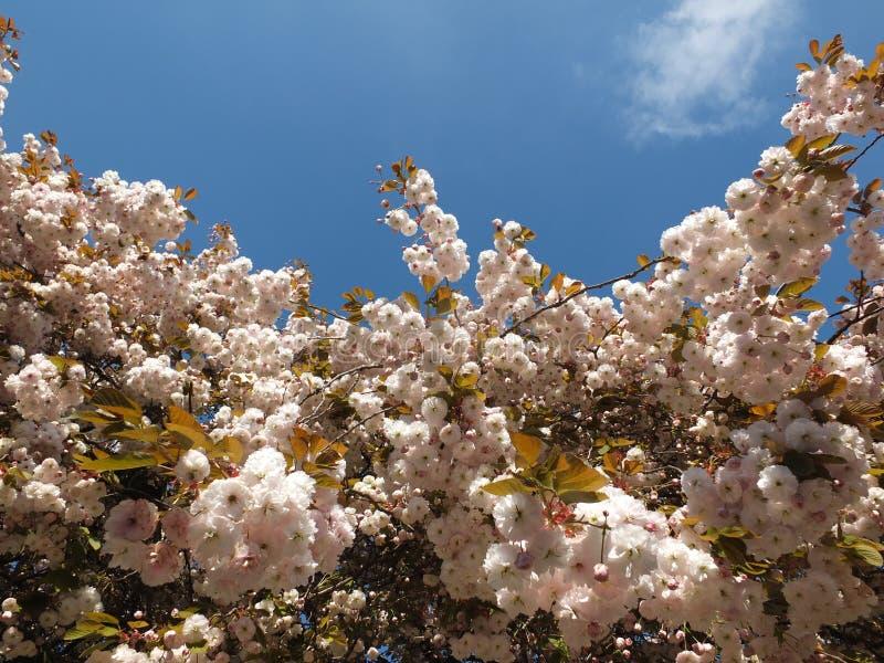Żywy jasnoróżowy okwitnięcie na czereśniowym drzewie w jaskrawym świetle słonecznym przeciw jaskrawemu błękitnemu wiosny niebu obraz stock