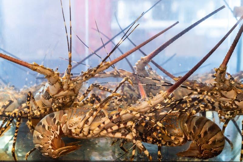 Żywy kanadyjski homar obraz royalty free