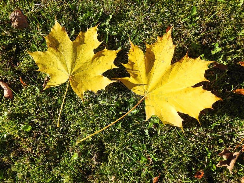 Żywy klonowy drzewo opuszcza w jesieni, Lithuania zdjęcie royalty free