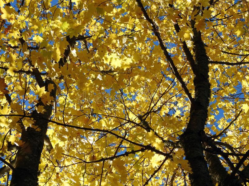 Żywy klonowy drzewo opuszcza w jesieni, Lithuania obraz stock