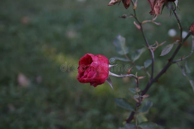 Żywy rubin zdjęcia stock