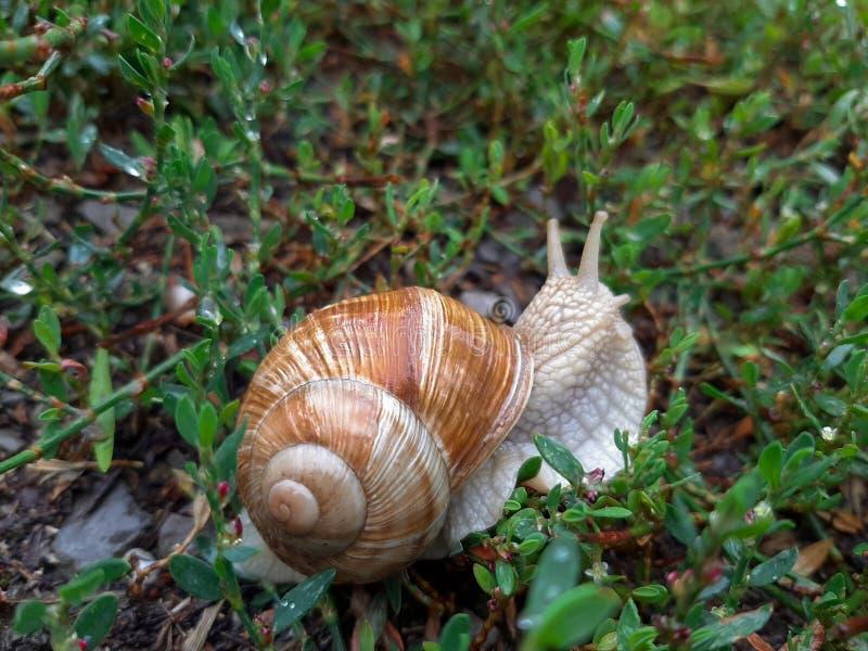 Żywy wino ślimaczek czołgać się na trawie po deszczu Ampuła przekręcająca mokra skorupa, czułki przedłużyć upwards zdjęcie stock