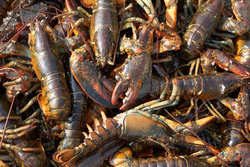 żywych homarów tło zdjęcie royalty free