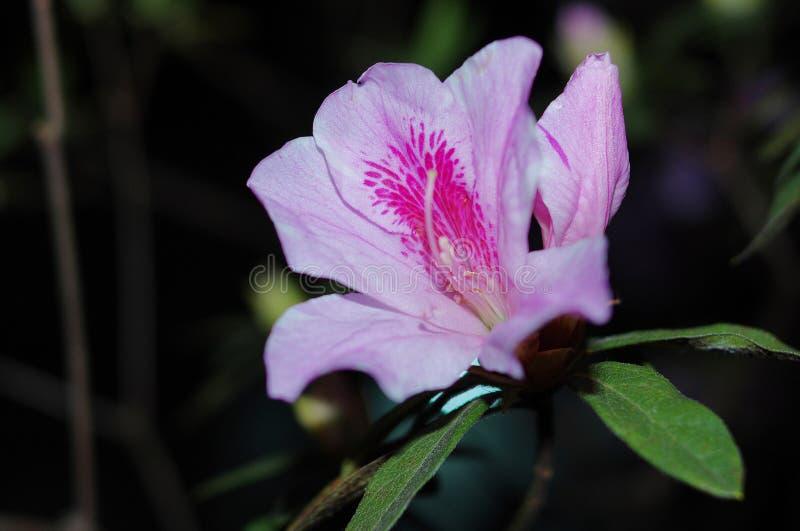 ?花 de ¹ de œé de  de æ de Planch de simsii de rhododendron photo libre de droits