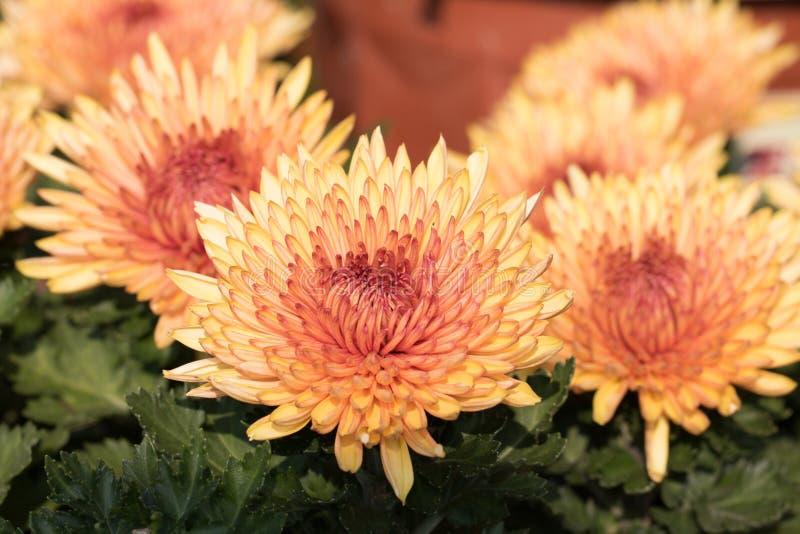 ˆDendranthema morifoliumï ¼ Chrysanthemumï ¼ ˆRamat ï ¼ ‰ στοκ φωτογραφίες