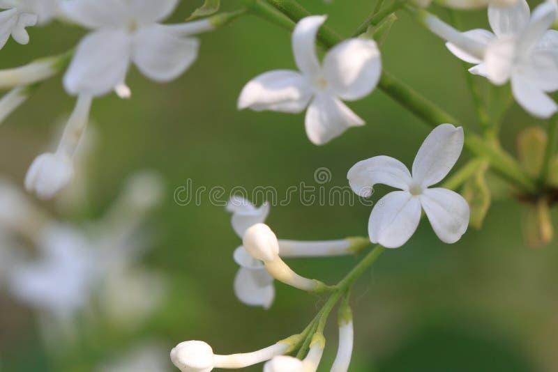 ˆSyringa lilás Linn do ¼ do flowerï ‰ do ¼ do ï fotografia de stock royalty free