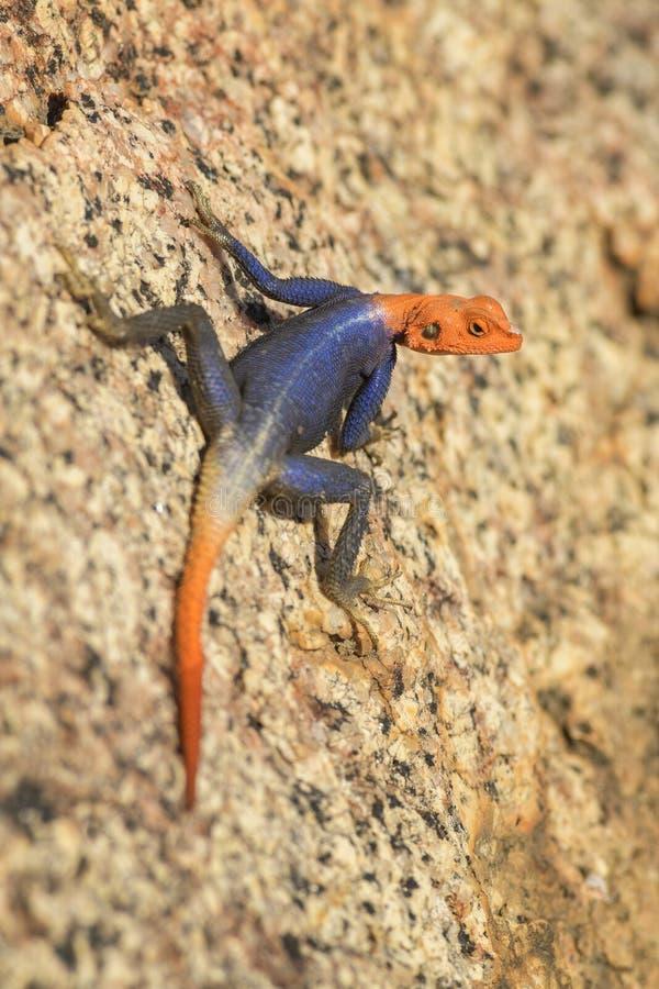 Άγαμα βράχου Namib - άγαμα planiceps στοκ εικόνες