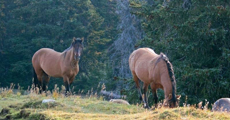 Άγρια άλογα - επιβήτορας Dun κογιότ παράλληλα με τη βοσκή της φοράδας Dun δερμάτων ελαφιού στην άγρια σειρά αλόγων βουνών Pryor σ στοκ φωτογραφία με δικαίωμα ελεύθερης χρήσης