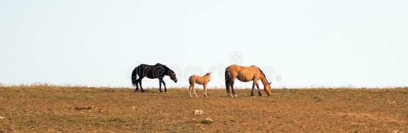 Άγρια άλογα - μαύρος επιβήτορας ζωνών που γλιστρά foal και η φοράδα του στην άγρια σειρά αλόγων βουνών Pryor στη Μοντάνα ΗΠΑ στοκ φωτογραφίες με δικαίωμα ελεύθερης χρήσης