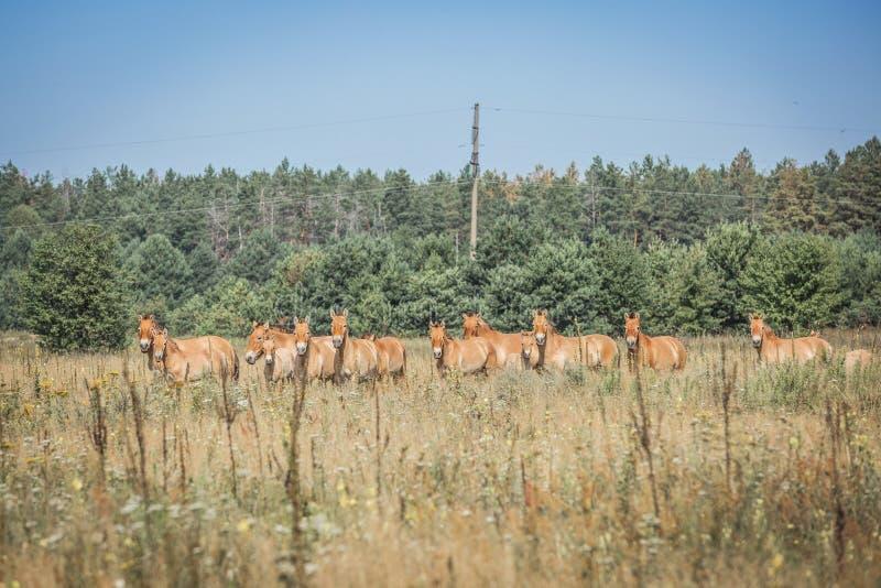 Άγρια άλογα Przewalski στοκ φωτογραφίες