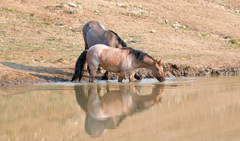 Άγρια άλογα - Roan κόλπων κόκκινες και φοράδες Grulla που απεικονίζουν πίνοντας στο waterhole στα βουνά Pryor - Μοντάνα ΗΠΑ στοκ εικόνες με δικαίωμα ελεύθερης χρήσης