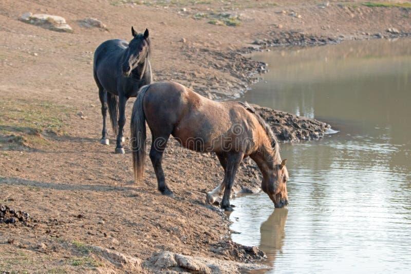 Άγρια άλογα - Sooty Palomino και μαύροι επιβήτορες που πίνουν στο waterhole στην άγρια σειρά αλόγων βουνών Pryor - Μοντάνα ΗΠΑ στοκ εικόνα