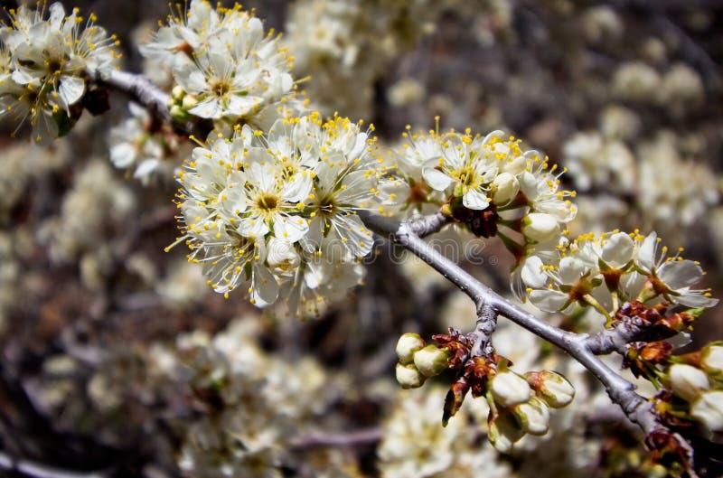 Άγρια άνθη δαμάσκηνων μια ημέρα άνοιξη στοκ φωτογραφία