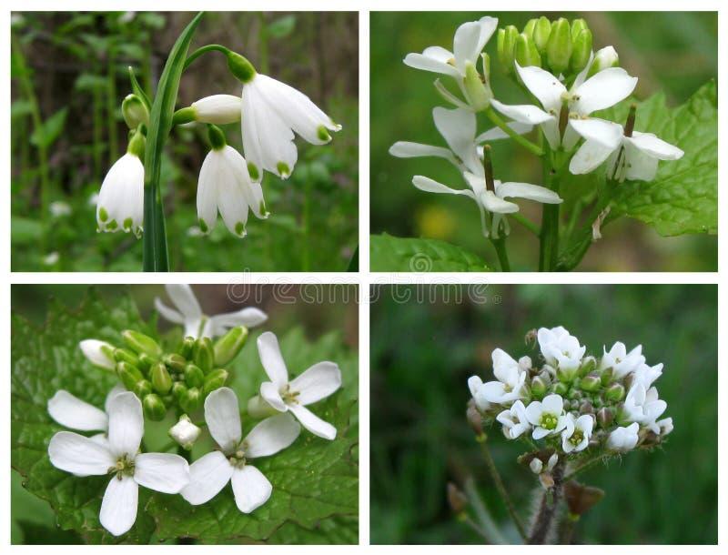 Άγρια άσπρα λουλούδια την άνοιξη στοκ φωτογραφίες με δικαίωμα ελεύθερης χρήσης