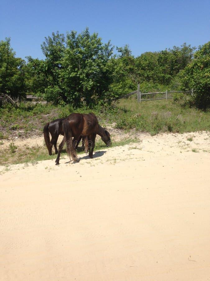Άγρια άλογα βόρεια Καρολίνα τραπεζών corolla στην εξωτερική στοκ φωτογραφία με δικαίωμα ελεύθερης χρήσης